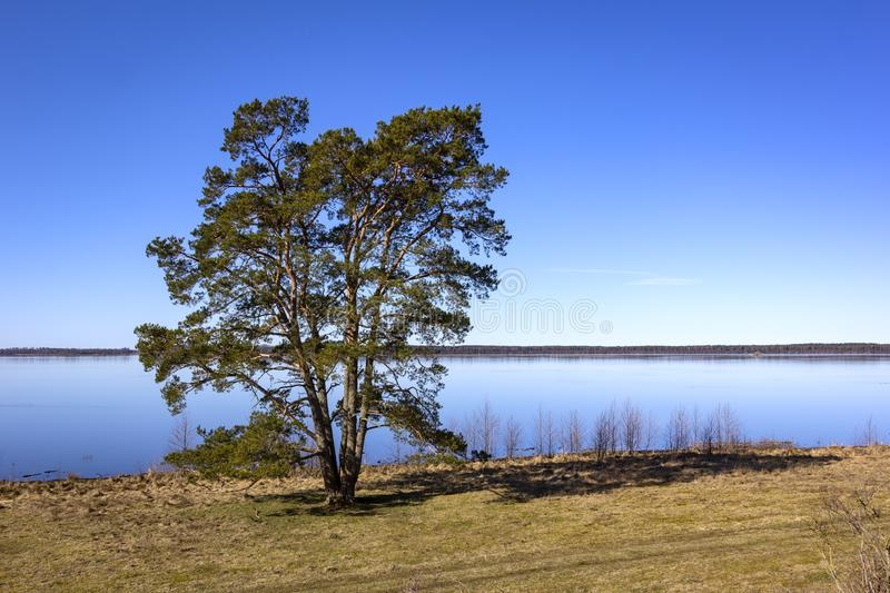 View of a very beautiful and mighty pine tree, on the shore of Lake Hornborga. Sweden stock photos