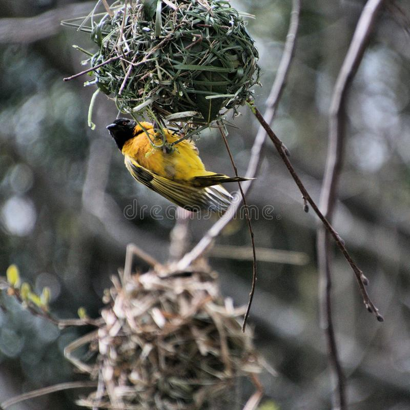 A view of a Village Weaver bird. In the wild royalty free stock photos