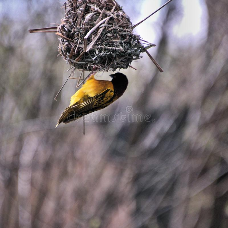 A view of a Village Weaver bird. In the wild royalty free stock photo