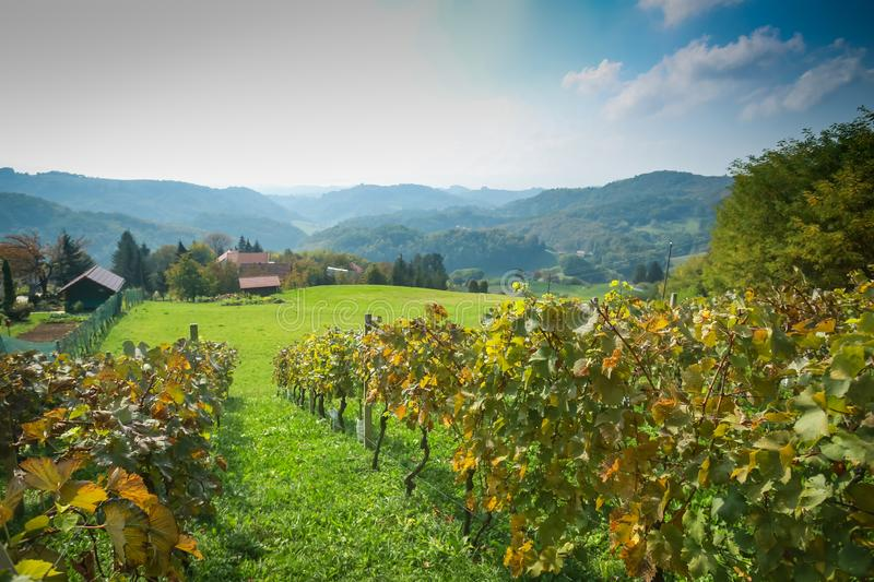 View of vineyard in Zagorje stock photography