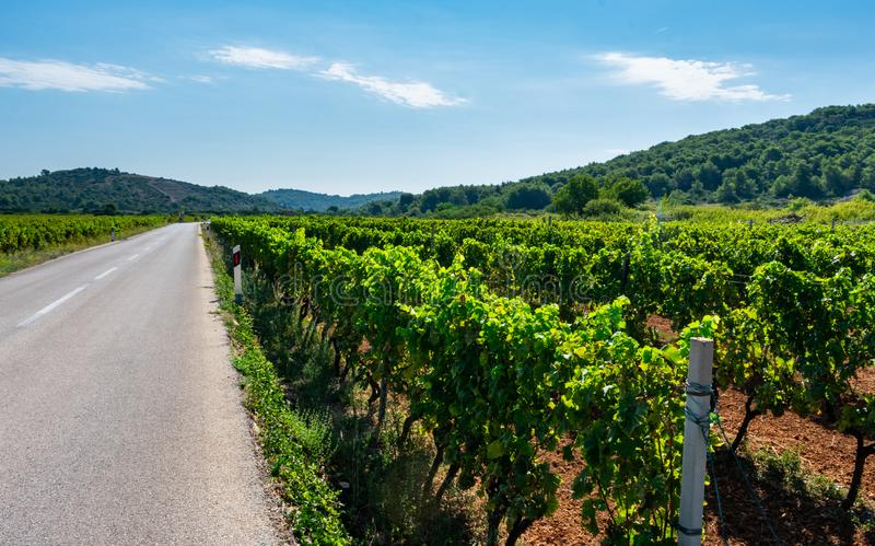 View of vineyards by the road on the island of Vis in Croatia, Europe, on a summer day stock photo