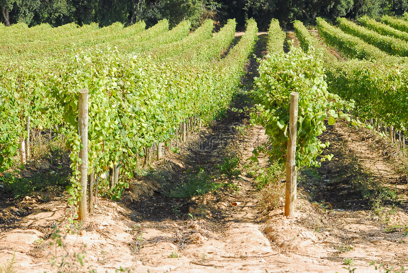 View of a vinyard royalty free stock image