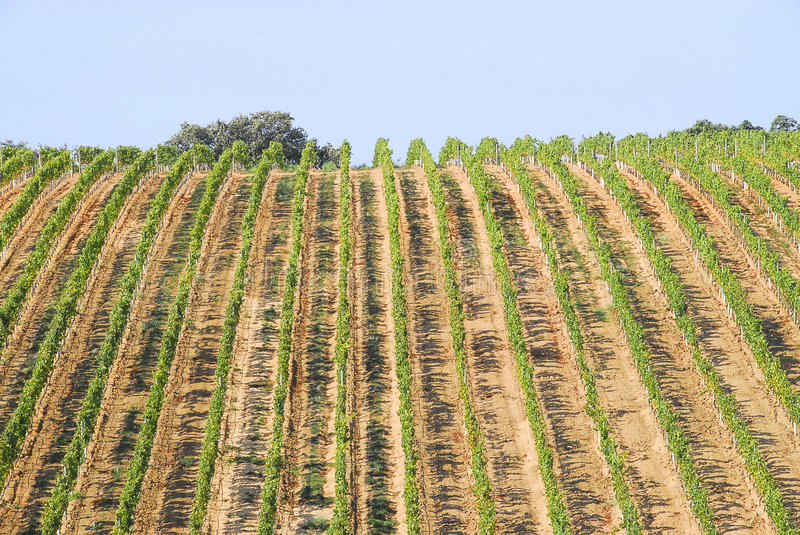 View of a vinyard. On a farm stock images