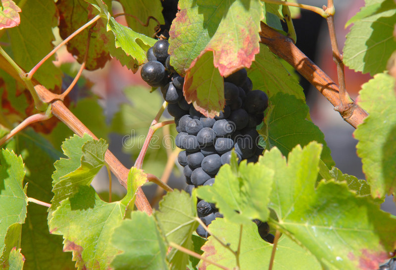 View of a vinyard. On a farm royalty free stock images