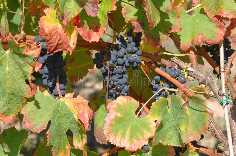 View of a vinyard. On a farm stock photography