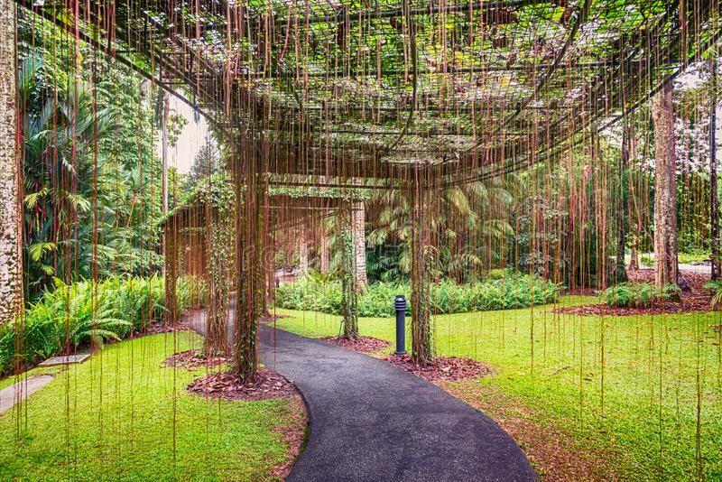 He walkway, curtain of roots in Singapore Botanic Gardens. View at the walkway, curtain of roots in Singapore Botanic Gardens stock photography