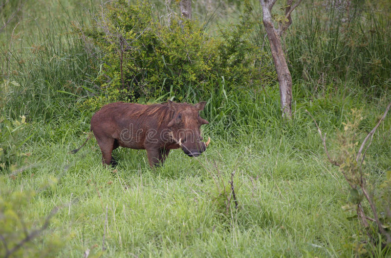 View of a warthog in a green field, Kruger National Park, Mpumalanga, South Africa stock photography