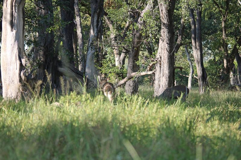 WATERBUCK BETWEEN TREES. View of a waterbuck standing in the shade under tall trees in Africa royalty free stock images