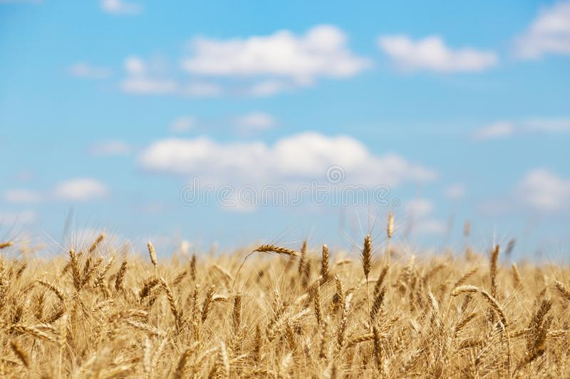 view at the wheat field stock photo