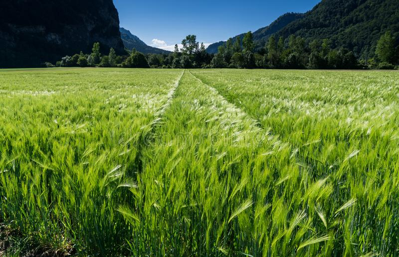 Wheat field in lustrous green and a slight wind with tractor tracks and forest behind. A view of a wheat field in lustrous green and a slight wind with tractor royalty free stock images