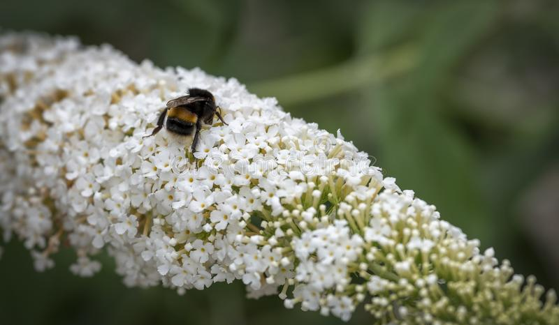 White honey pot for bees. View of a white Buddleia in full bloom being pollinated by a bee stock photo