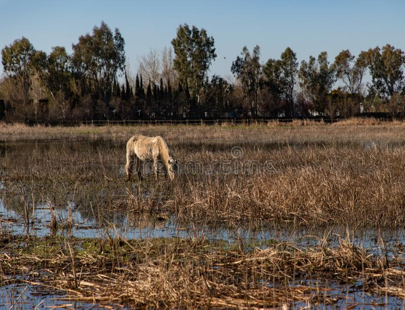View of a white horse grazing in a dry field royalty free stock image