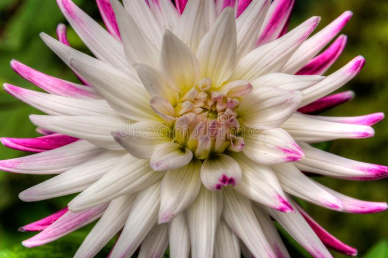 View of white and pink flower up close in a colorful garden. Pink and white are the primary colors in this image royalty free stock image