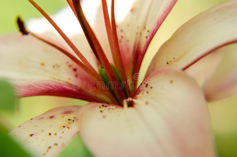 View of white and red flower up close. White is the primary color in this image stock images