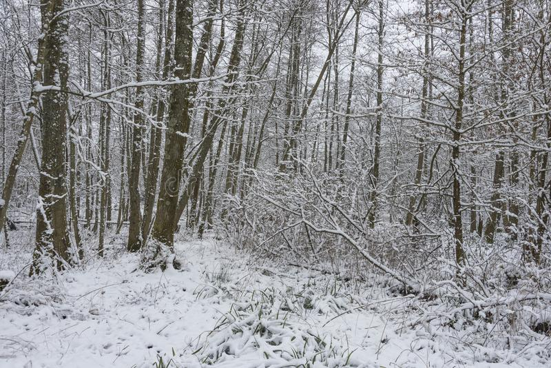 Forest with snow covered trees stock photography