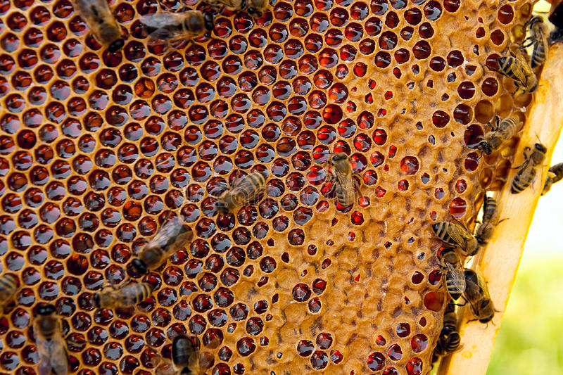 View of the working bees on the honeycomb with sweet honey. royalty free stock photography