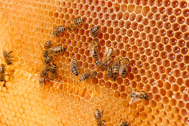 View of the working bees on the honeycomb with sweet honey. Close up view of the working bees on the honeycomb with sweet honey. Honey is beekeeping healthy royalty free stock photos
