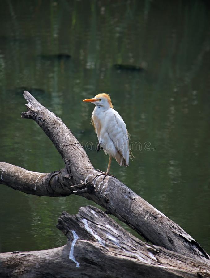 YELLOW BILLED EGRET ON A DEAD BRANCH IN WATER. View of a yellow billed egret sitting on a dead tree stump in water with one leg pulled up stock image