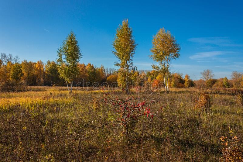 Golden birch trees royalty free stock photography