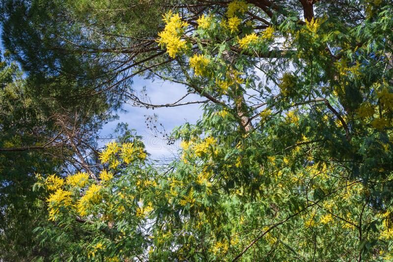 View of a yellow flowered mimosa tree over blue sky in a park in Madrid, Spain. Horizontally stock photography