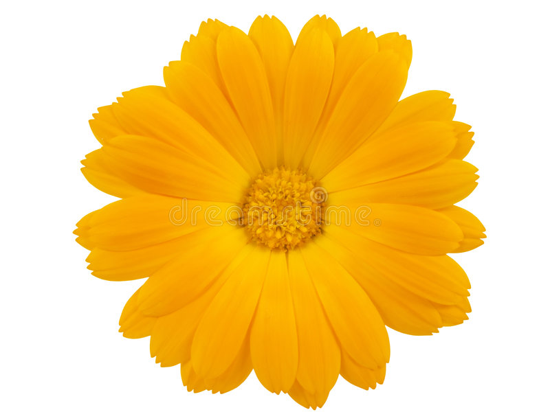 View of a yellow marigold stock photo