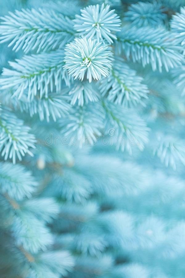 View of the young branches of blue spruce in the colors of the 2020 trend royalty free stock photo