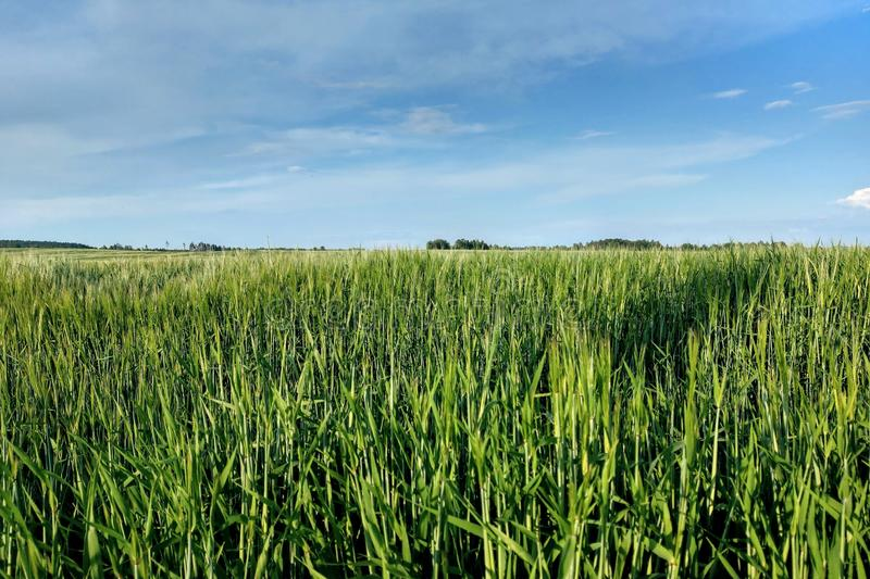 View of a young green field of wheat or barley on a sunny clear day, nature background royalty free stock photos