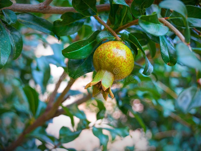 View on young offspring pomegranate fruit and on pomegranate tree green leafs in the Greek hotel restaurant patio garden. Green po royalty free stock image