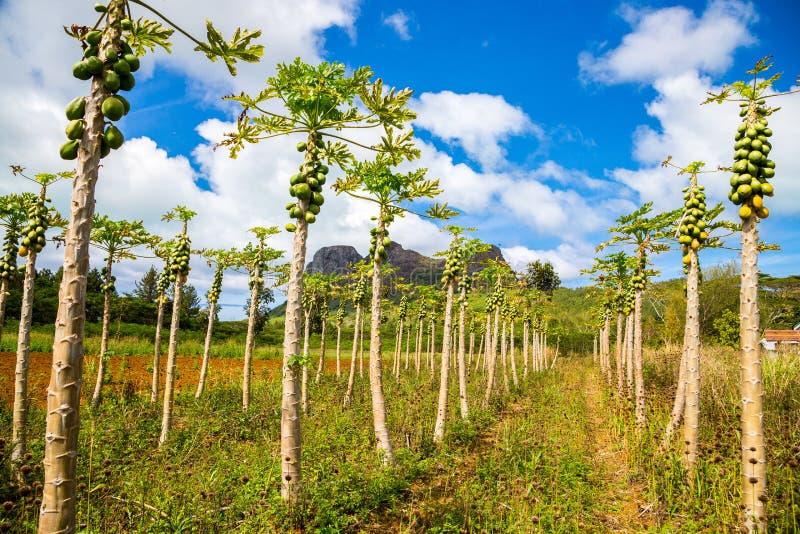 Young papaya garden with mountain in background under beautiful blue cloudy sky. Tubuai island, French Polynesia, Oceania. royalty free stock photos