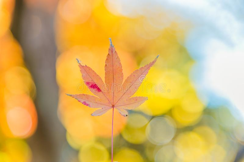 The viewing of colorful Autumn leaves Momiji stock photo