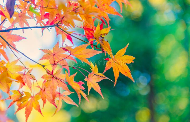 The viewing of colorful Autumn leaves Momiji royalty free stock image