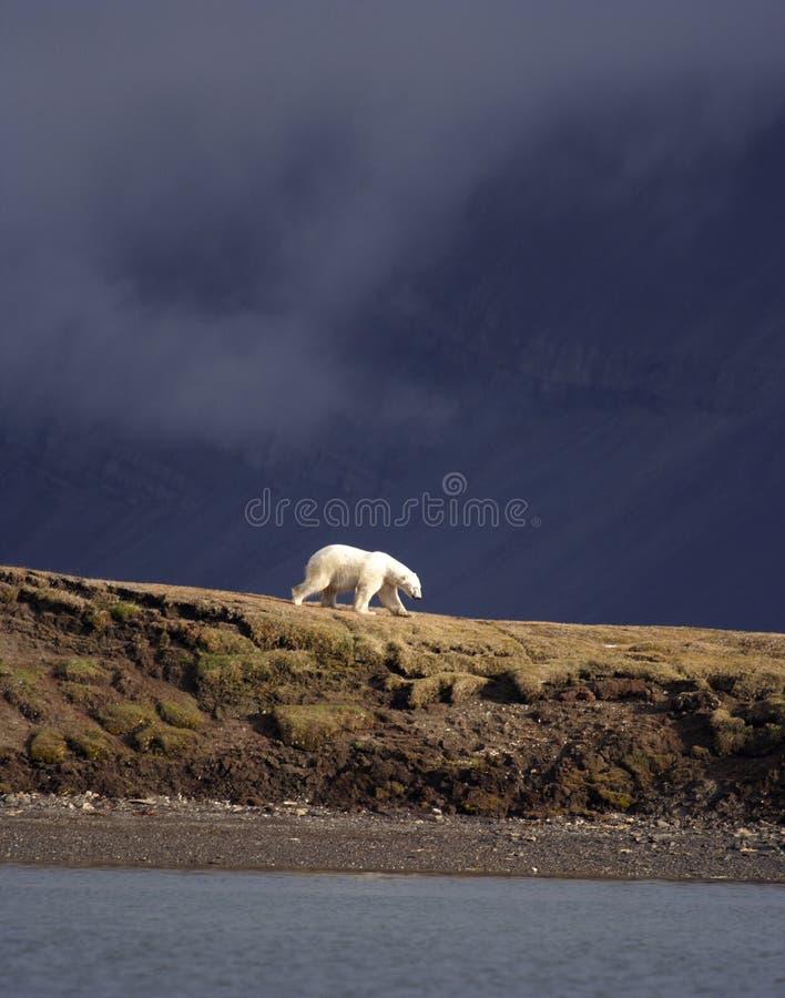 Viewing a Polar Bear stock photo