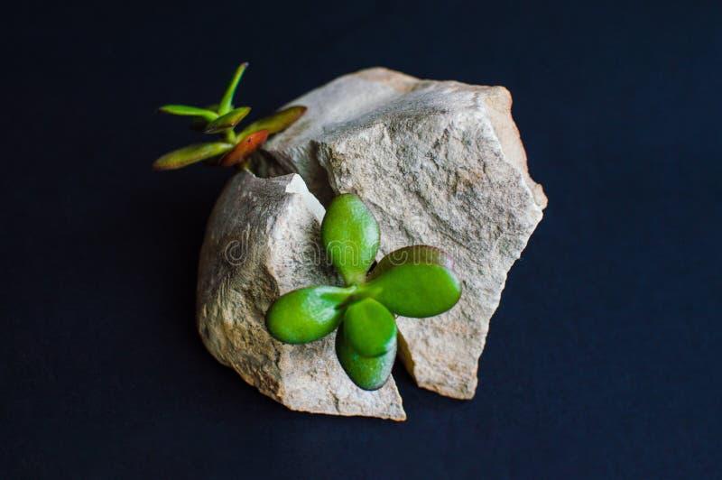 Viewof del primer que la roca gris partió en dos porciones con la pequeña planta suculenta verde Concepto de motivación de vigor, fotos de archivo