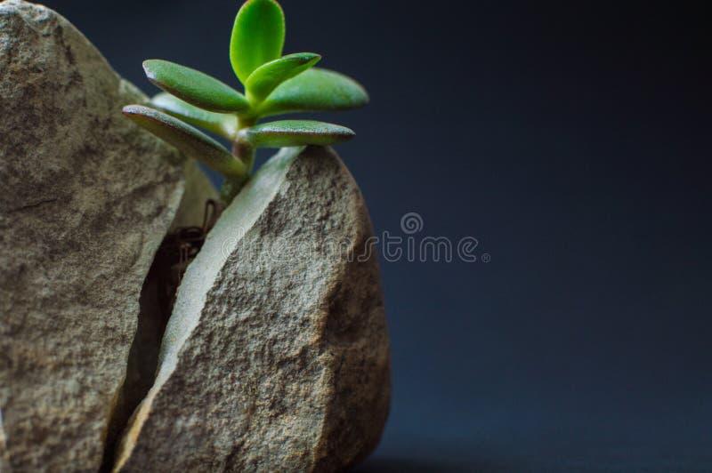 Viewof del primer que la roca gris partió en dos porciones por la pequeña planta suculenta verde Concepto de motivación de vigor, imagen de archivo libre de regalías
