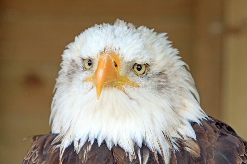 Viewof frontal lleno Eagle calvo con el pico enganchado y el detalle emplumado imagenes de archivo