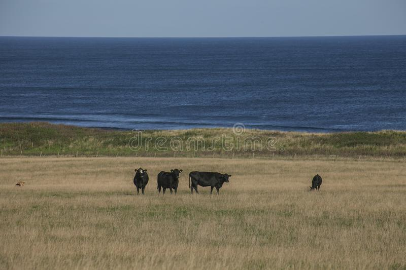 Views of Scotland, the UK, Europe - black cows and blue seas. This image shows a view of Scotland, the UK. It was taken on a sunny day in summer 2016. We can stock photos