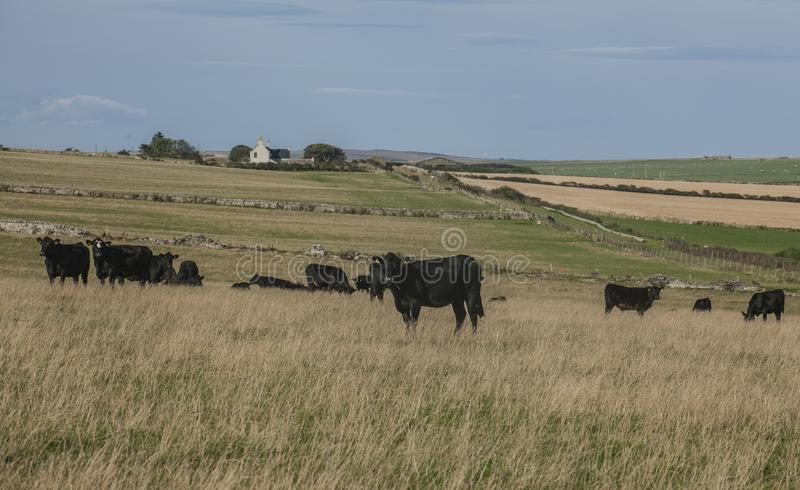 Views of Scotland, the UK, Europe - black cows and blue skies. This image shows a view of Scotland, the UK. It was taken on a sunny day in summer 2016. We can royalty free stock images