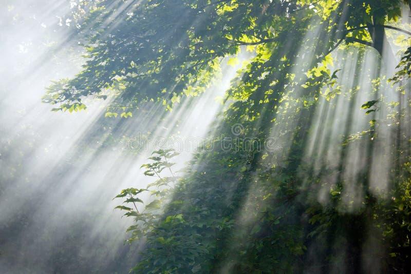 Vigas de la luz del sol en bosque fotografía de archivo libre de regalías