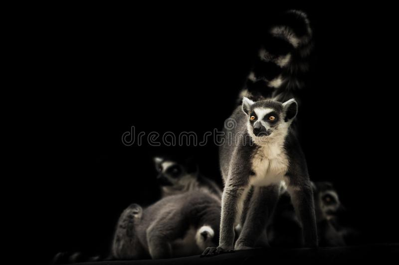 Ready to protect the family feline lemur on a dark background with sleeping other lemurs. Symbol of male protection and care. Vigilant and ready to protect the royalty free stock images