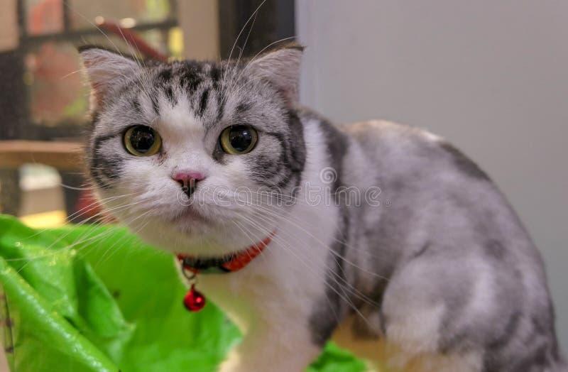 Vigilant round face British shorthair cat royalty free stock images