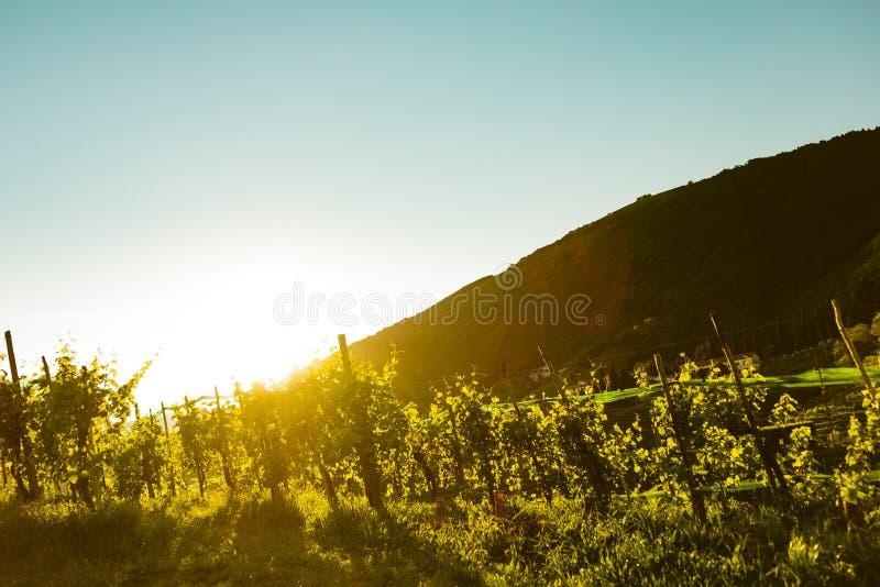Vigna al tramonto in colline italiane del vino di valdobbiadene fotografia stock libera da diritti