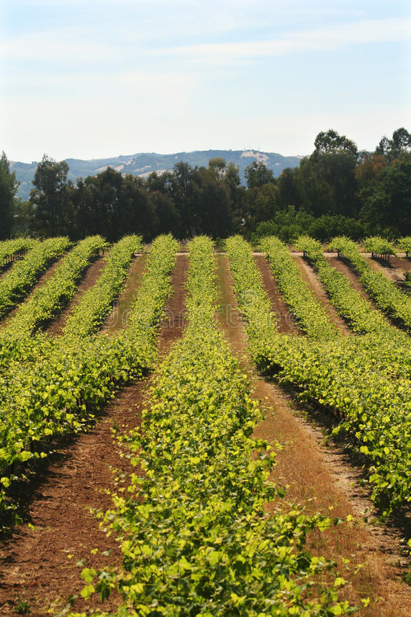 Vigna California del vino fotografie stock libere da diritti
