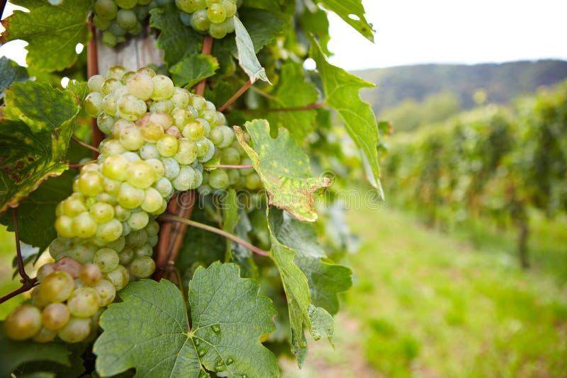 Vigna con gli acini d'uva di riesling fotografia stock