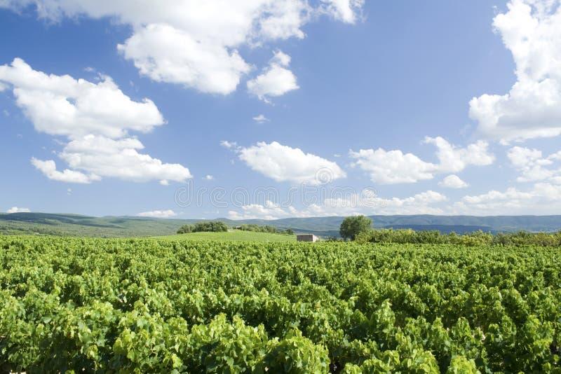 Vigna, con il cielo blu di estate. La Provenza. La Francia. fotografie stock