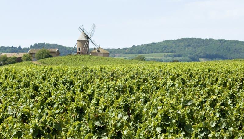 Vigna, con il mulino a vento da Beaujolais. fotografia stock