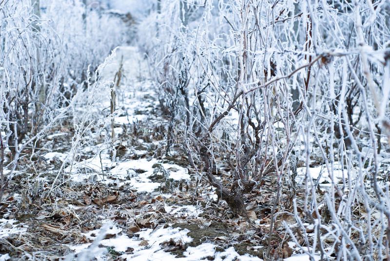 Vigna congelata nell'inverno immagini stock