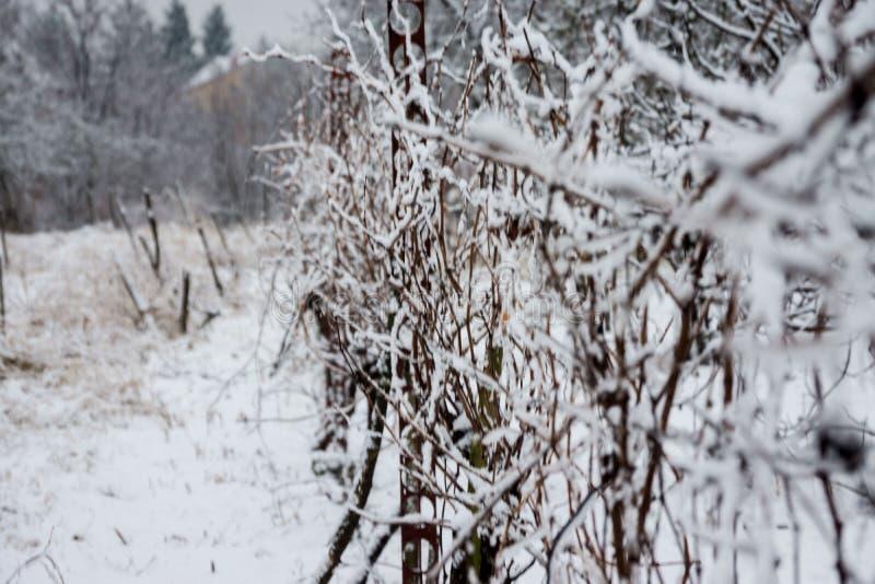 Vigna congelata nell'inverno fotografia stock libera da diritti