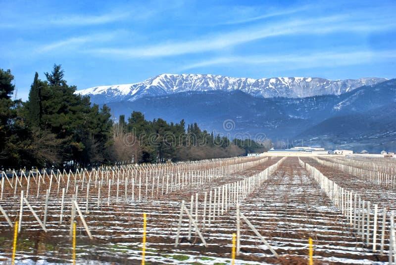 Vigna coperta di neve nell'inverno Glassa di brina che glassa nella vigna di Azerbailan, vigna congelata fotografia stock