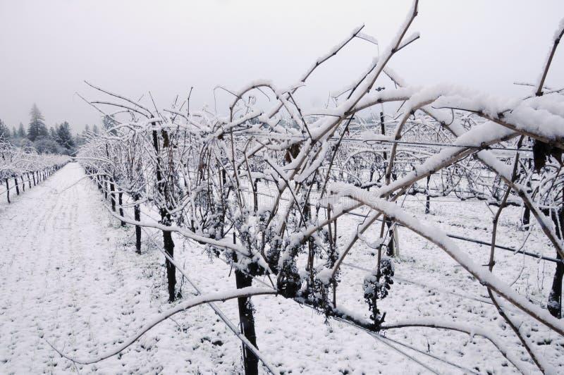 Vigna del pinot nero in inverno fotografie stock