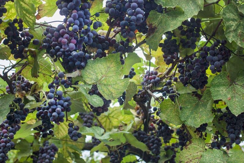 Vigna dell'azienda agricola del vino immagini stock libere da diritti